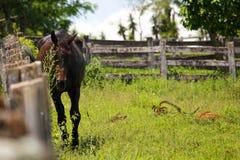 Cavallo nero accanto ad un recinto di legno Immagine Stock