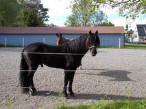 Cavallo nero (cavallo del drafr) Fotografia Stock