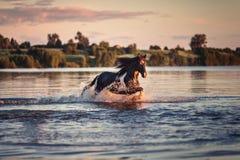 Cavallo nero che galoppa in acqua al tramonto Immagini Stock Libere da Diritti