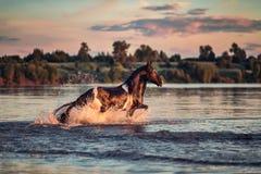 Cavallo nero che galoppa in acqua al tramonto Fotografia Stock