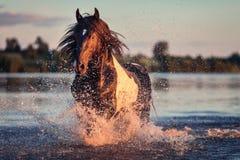 Cavallo nero che galoppa in acqua al tramonto Fotografia Stock Libera da Diritti