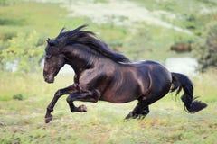 Cavallo nero che galoppa nel campo Fotografia Stock Libera da Diritti