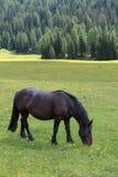 Cavallo nero che pascola nelle terre di pascolo: Alpi italiane S delle dolomia Fotografie Stock