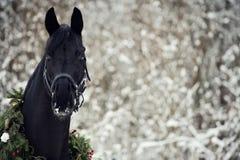 Cavallo nero con la corona di natale Fotografie Stock