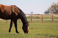 Cavallo nero e marrone che pasce in un pascolo Fotografia Stock Libera da Diritti