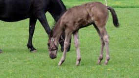 Cavallo nero, giumenta con il puledro archivi video