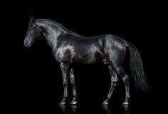 Cavallo nero isolato sul nero Fotografia Stock