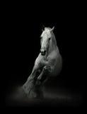 Cavallo nero nel campo Fotografia Stock