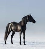 Cavallo nero nel campo nell'inverno Immagine Stock Libera da Diritti