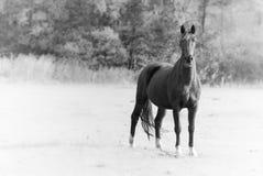 Cavallo nero singolo Fotografia Stock