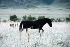 Cavallo nero in steppa bianca fotografia stock
