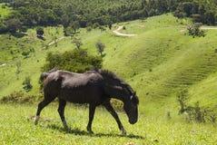Cavallo nero su un campo verde Fotografia Stock