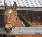 Cavallo in New Hampshire Immagine Stock Libera da Diritti