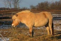 Cavallo norvegese del fiordo Fotografia Stock Libera da Diritti
