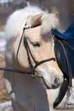 Cavallo norvegese del fiordo Fotografie Stock Libere da Diritti