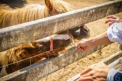 Cavallo o cavallino miniatura sveglio nell'azienda agricola Piccolo cavallino sveglio Fotografie Stock