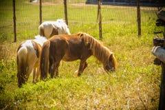 Cavallo o cavallino miniatura sveglio nell'azienda agricola Piccolo cavallino sveglio Immagini Stock Libere da Diritti