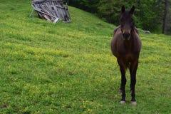 Cavallo occidentale dell'azienda agricola della montagna di NC fotografia stock