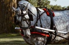 Cavallo operato Fotografia Stock