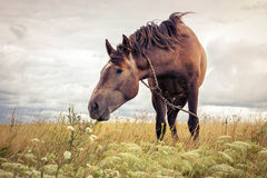 Cavallo in pascolo Immagine Stock