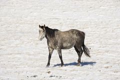 Cavallo in pascolo nevoso. Fotografia Stock