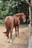 Cavallo peruviano Fotografia Stock