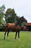 Cavallo peruviano Immagini Stock