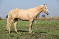 Cavallo piacevole del palomino fotografia stock libera da diritti