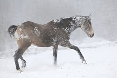 Cavallo piacevole del quarto della baia che si muove nell'inverno Fotografia Stock