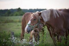 Cavallo piacevole in Québec, Canada Immagini Stock