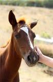 cavallo piccolo che picchietta Fotografie Stock Libere da Diritti