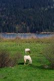Cavallo in prato Fotografie Stock Libere da Diritti