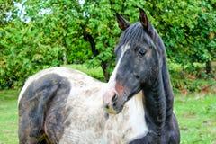 Cavallo a prato inglese Fotografia Stock
