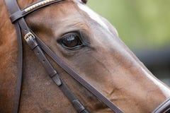 Cavallo - primo piano capo Fotografie Stock Libere da Diritti