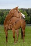 Cavallo quarto americano Fotografia Stock Libera da Diritti