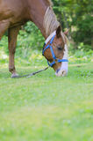 Cavallo quarto americano femminile che pasce sull'erba fuori Fotografie Stock Libere da Diritti