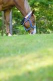 Cavallo quarto americano femminile che pasce sull'erba fuori Immagine Stock