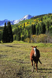 Cavallo quarto americano in un campo, Rocky Mountains, Colorado Fotografia Stock