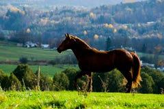 Cavallo quarto nel campo Immagini Stock Libere da Diritti