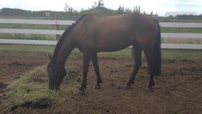 Cavallo rauco fotografia stock
