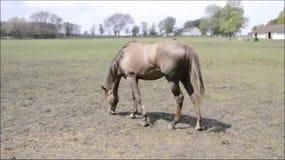 Cavallo, cavallo in recinto per bestiame video d archivio