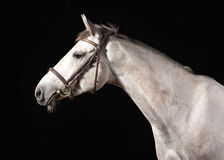Cavallo Ritratto di colore grigio di Trakehner su fondo scuro Immagine Stock
