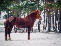 Cavallo rosso con cuore Fotografie Stock Libere da Diritti
