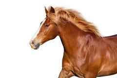 Cavallo rosso isolato fotografie stock libere da diritti