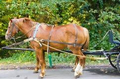 Cavallo rosso sfruttato in carrello Fotografia Stock