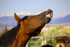 cavallo s Fotografie Stock Libere da Diritti