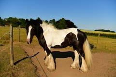 Cavallo a sangue freddo, segni in bianco e nero Fotografia Stock Libera da Diritti