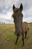 Cavallo sciocco Fotografie Stock