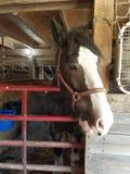 cavallo in scuderia Immagine Stock Libera da Diritti