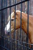 Cavallo in scuderia dietro la gabbia immagine stock
